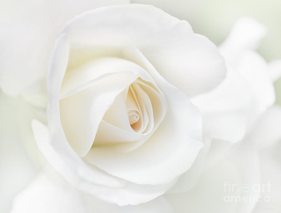 the-white-rose-flower-jennie-marie-schell